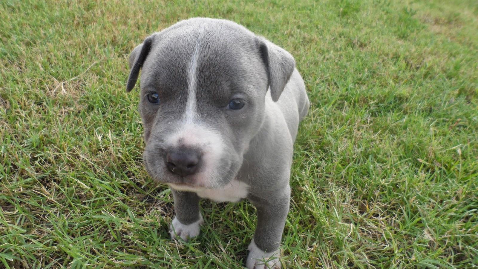 Australian Border Collie Puppies For Sale Near Me